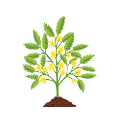 tomato growth stage plant yellow flower and green vector image