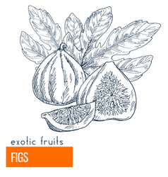 Figs hand drawn vector