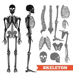 Human Bones And Skeleton Set vector image