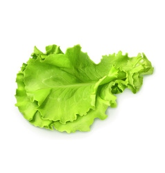 Fresh green leaf lettuce vector
