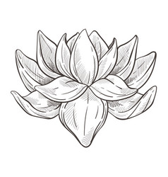 wild oriental flower or lotus blossom isolated vector image