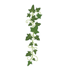 ivy branch woody evergreen decorative climbing vector image