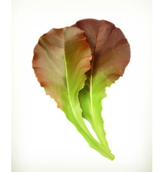 Lettuce leaves vector image
