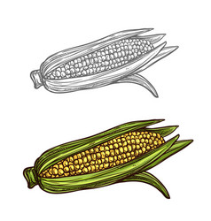 Corn cob sketch vegetable icon vector