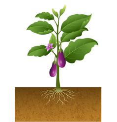 Eggplants plant on the tree vector