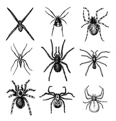 Spider or arachnid species most dangerous insects vector