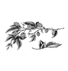 Hops plant with leaves in vintage style engraved vector