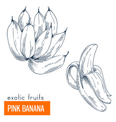 pink banana hand drawn vector image