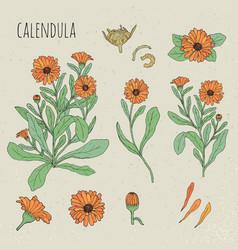 calendula medical botanical isolated vector image