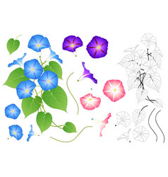 Blue pink and purple morning glory outline vector