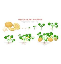 melon plant growing stages from seeds seedling vector image