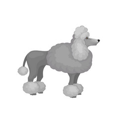 Adult poodle standing isolated on white background vector