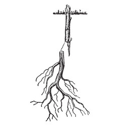 Root grafting of woody plant vintage vector