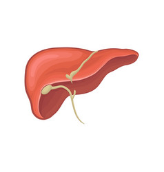 Structure of human liver organ of digestion vector