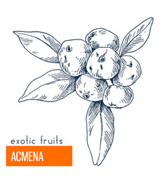 acmena hand drawn vector image vector image