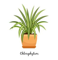 clorofitum plant in pot icon vector image vector image