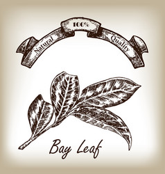 Bay leaf hand drawn in sketch style vector