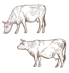 set of hand drawn cow isolated on white vector image vector image