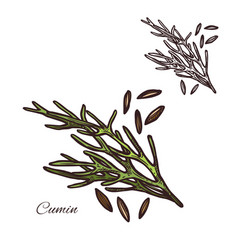 Cumin seasoning plant seeds sketch icon vector