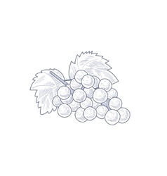 Fresh Grapes Hand Drawn Artistic Sketch vector image