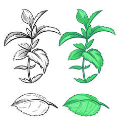 coloring hand drawn mint plant and leaf with vector image vector image