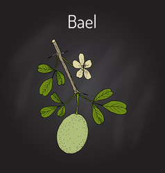 bael aegle marmelos or bengal quince vector image