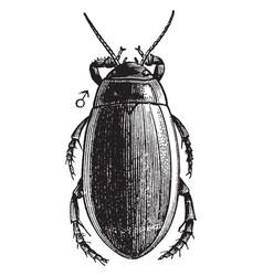 Diving beetle vintage vector