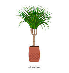 dracaena plant in pot vector image