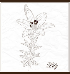 lily flower-1 vector image vector image