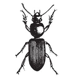 Subangular ground beetle vintage vector
