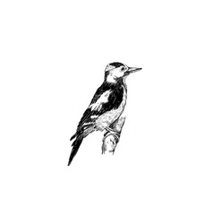 woodpecker sketch hand drawing woodpecker bird vector image