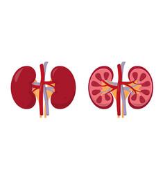 Human kidneys anatomy inside and outside vector