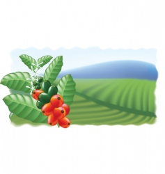 fruits and flowers of coffee tree vector image vector image