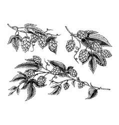 hop plant with leaves in vintage style engraved vector image