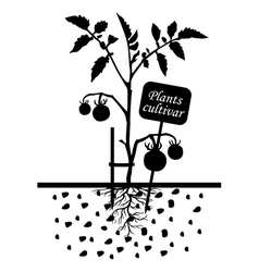 Tomato cultivar vector