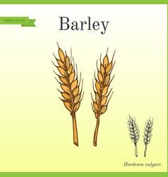Hand drawn barley ears sketch vector