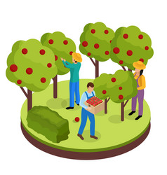 fruit harvesting isometric composition vector image