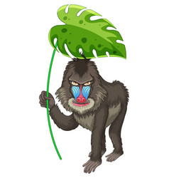 Cute baboon holding green leaf on white background vector
