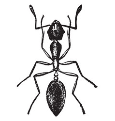 Pharaoh ant vintage vector