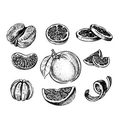 Oranges hand drawn vector