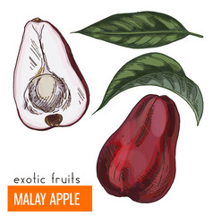 Malay apple color vector