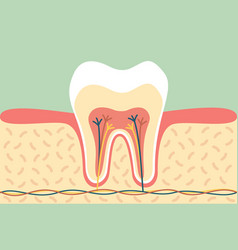Healthy tooth anatomy vector