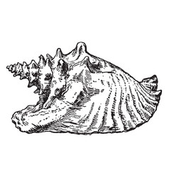 Conch shell vintage vector