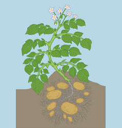 Potato vegetable plant soil and roots growing vector