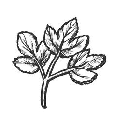 Parsley sprig fresh spice for nutrition ink vector