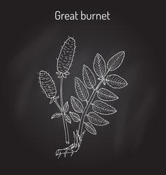 Great burnet sanguisorba officinalis medicinal vector
