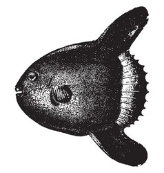 sunfish vintage vector image