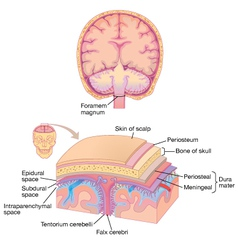 Human brain layer anatomy vector image