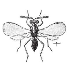 Chalcid wasp vintage vector