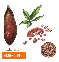 Finger lime color vector